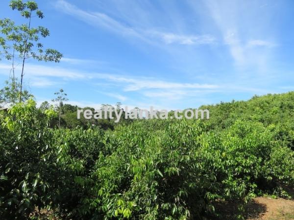 100 Acres Mix Plantation