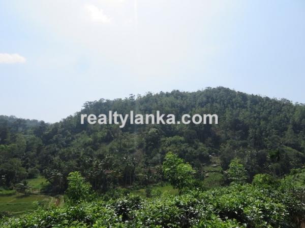 Tea Estate In Iduruwa