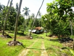 Magnificent Coconut estate inland from Dikwella -