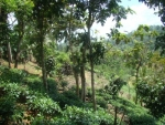 Small tea estate and house in close proximity to Galle -