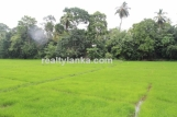 Lush Land with Paddy View GI 147